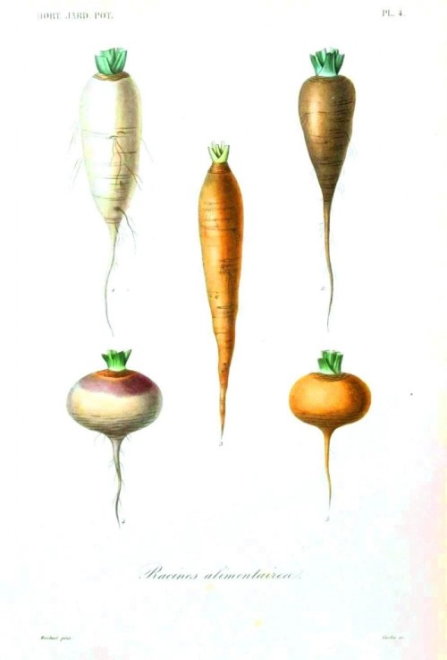 Botanical-Root-vegetables-4-694x1024