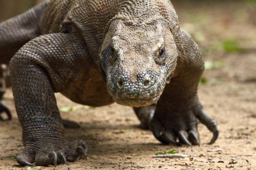 Komodo dragon/ Adam Riley
